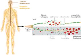 Nervenregeneration