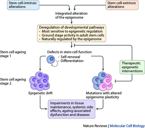 Model of stem cell aging