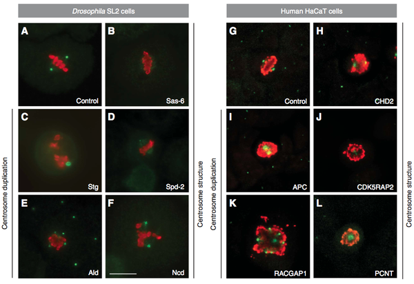 Ploubidou: Immunofluorescence microscopy micrographs of mitotic cells