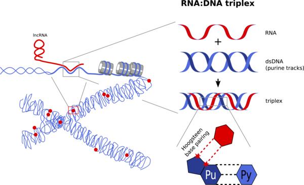 RNA/DNA Triplex (Source: Bierhoff Lab)