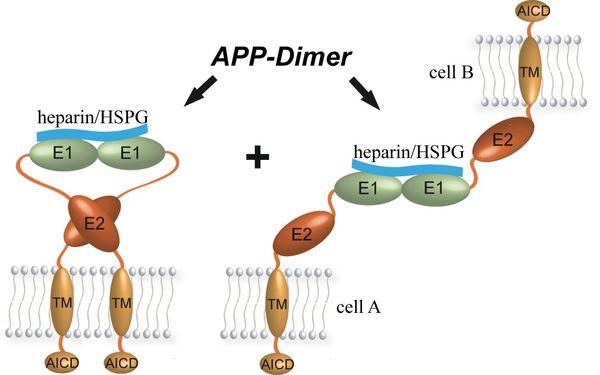 Dimerization of APP