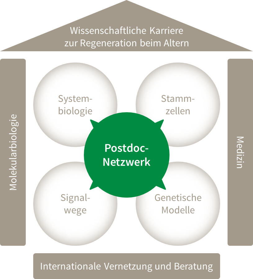 Postdoc-Netzwerk RegenerAging
