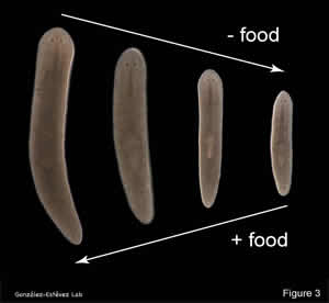 Growth and de-growth in planarians