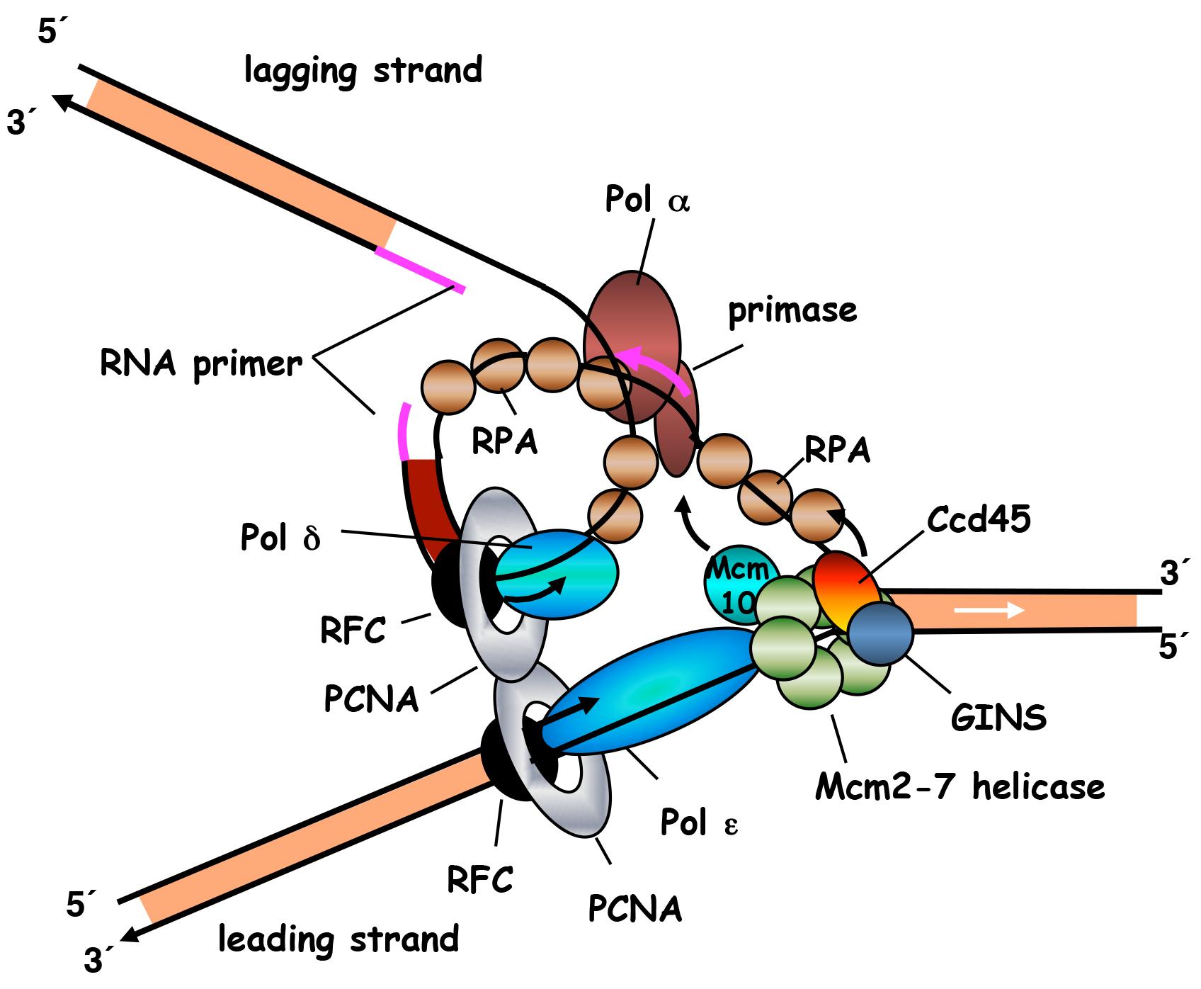 Große: DNA Replication Fork