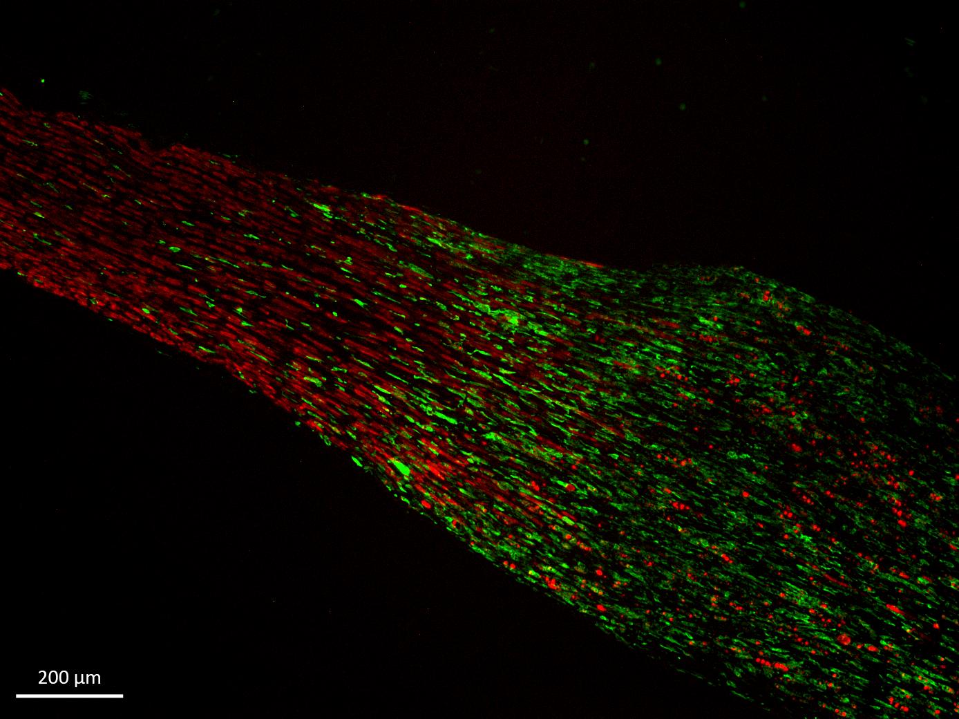 sind nerven regenerierbar