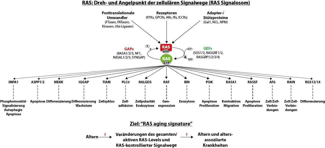 RAS-/MAPK-Signalwege