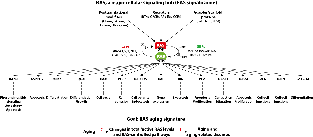 RAS-controlled signaling pathways