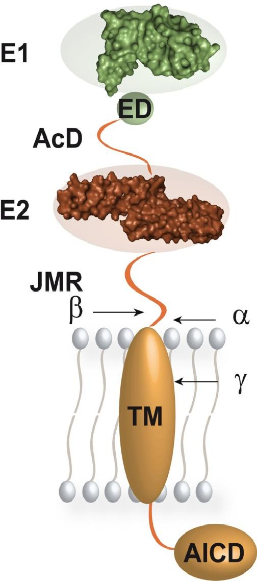 Membrane-bound APP protein