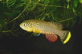 Türkiser Prachtgrundkärpfling (Nothobranchius furzeri)